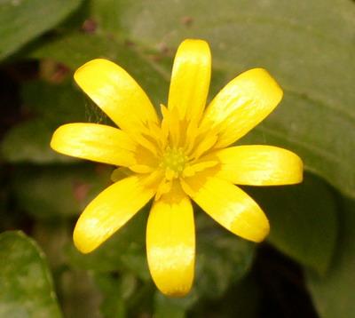 celandine-crop.jpg