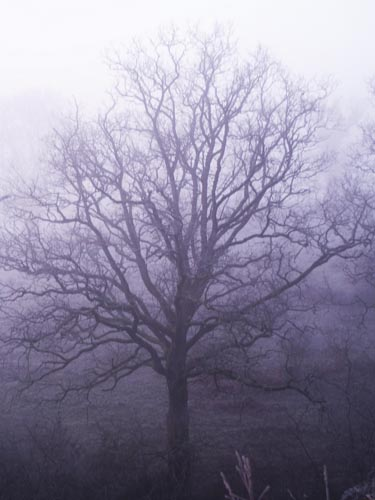 foggy-tree.jpg