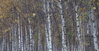 tate-birch-trees.jpg