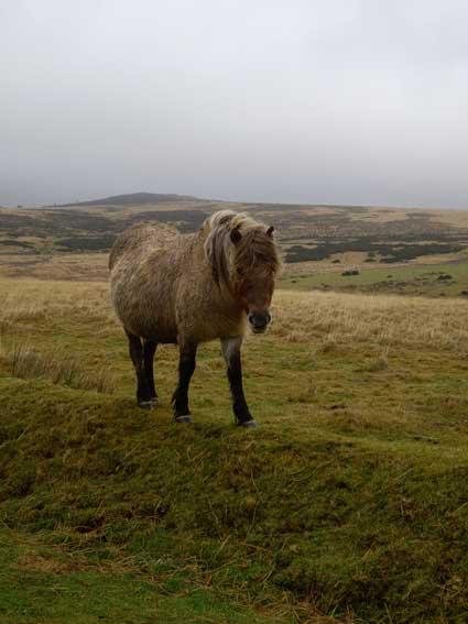 dartmoor-pony.jpg
