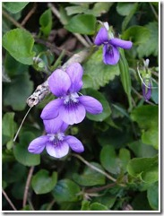 Copy of violet1