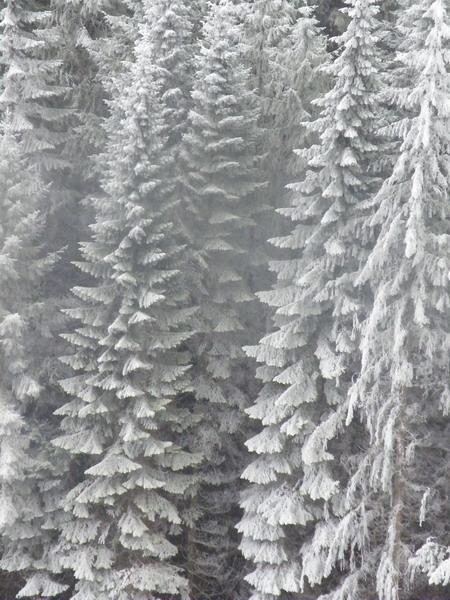 frostyfirs