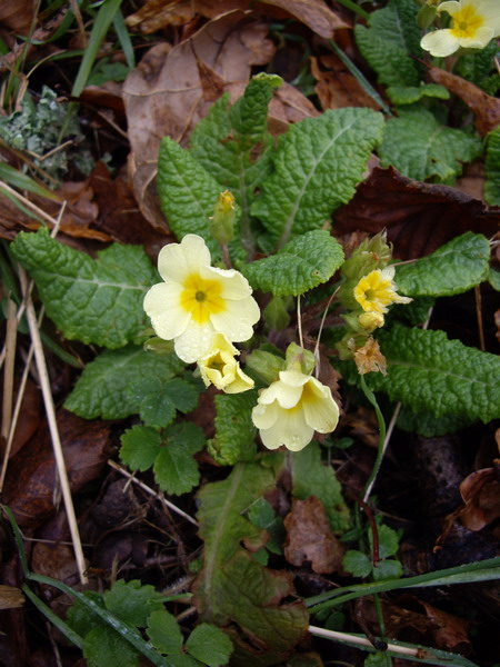 first-primrose