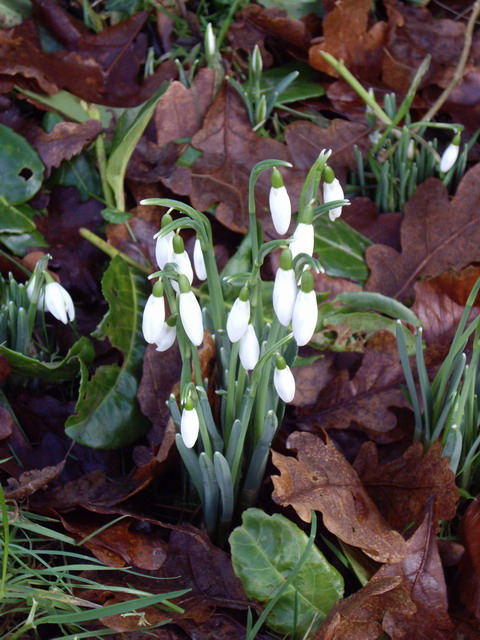 first-snowdrops