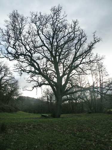 oak_tree1