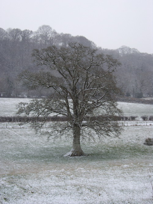 snowy_oak