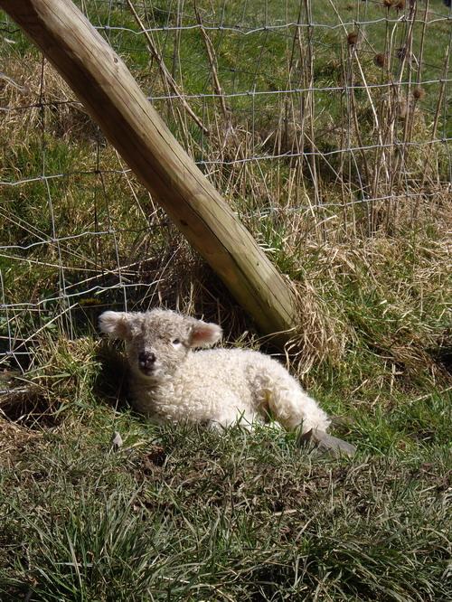 lambs-1