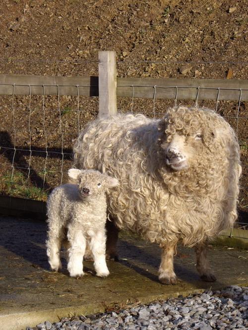 lambs-3