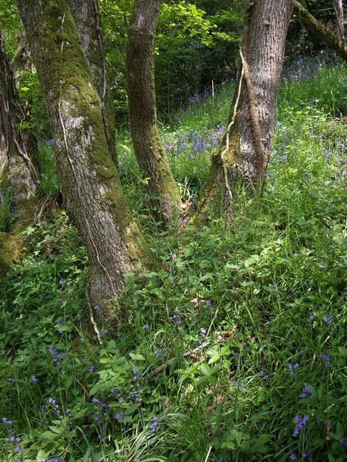bluebellwood5