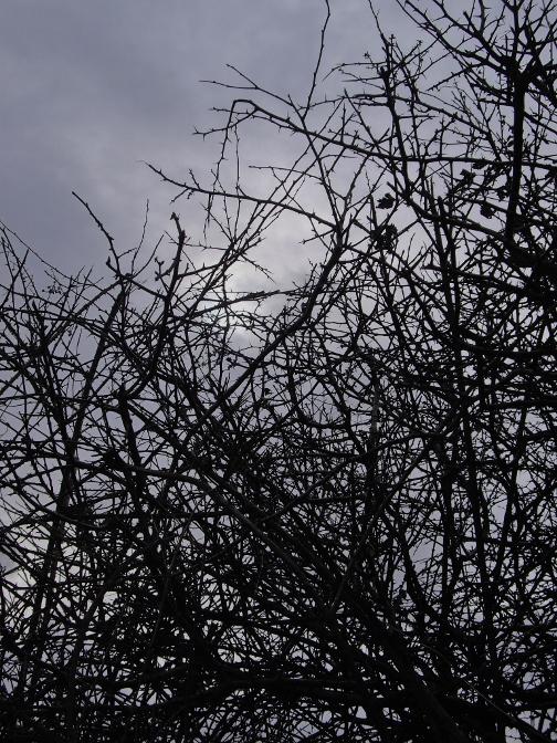 brambles in wintertime
