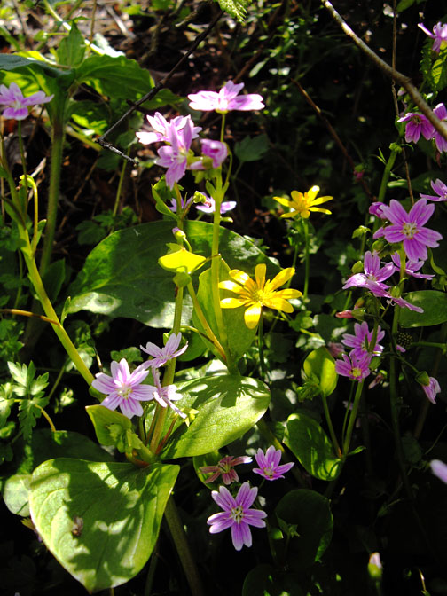 Celadine & red campion