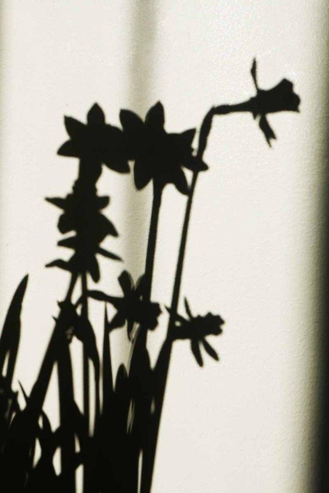 daffodill_shadows1